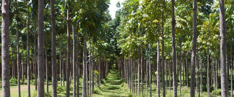 mahogany agroforestry