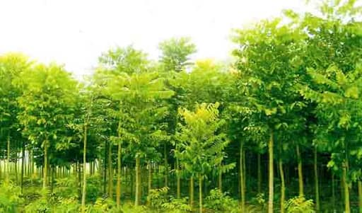 Mahogany Agro Forest