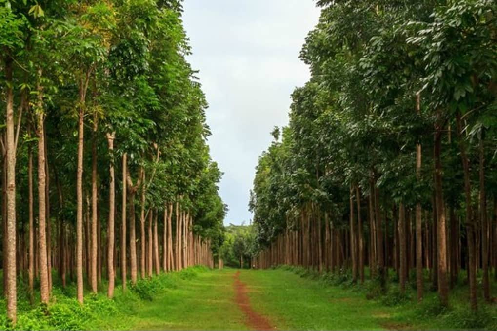 Mahogany Tree Agroforestry